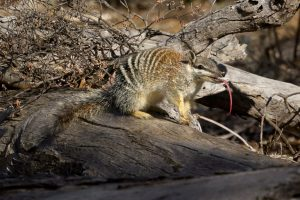 Numbat Lick 20100904_MG_5569-Edit